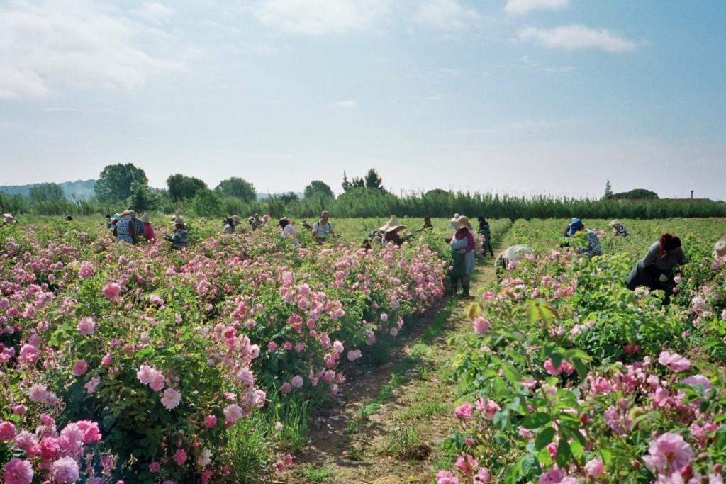 Les Roses - Pégomas1 © Ladybirds Films copie